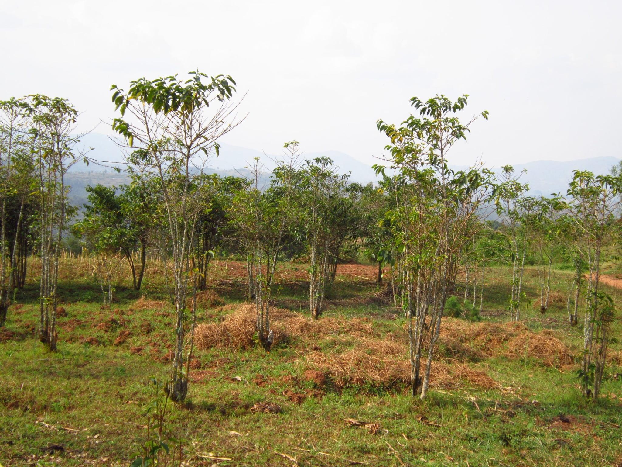 Na kávovej plantáži v Rwande