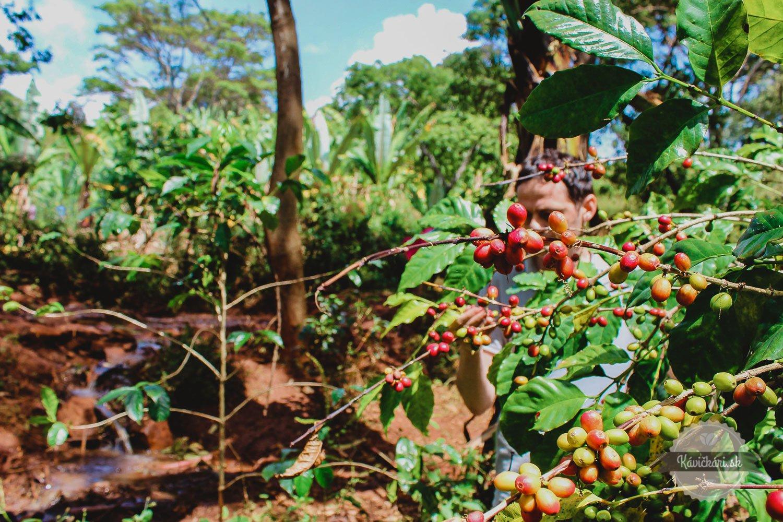 Bio káva Samay